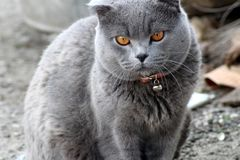 British cat in a red collar. British shorthair - shorthair cats. As a rule, they are strong and strong cats. There are medium to large sizes. According to legend stock photography