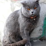 British cat in a red collar. British shorthair - shorthair cats. As a rule, they are strong and strong cats. There are medium to large sizes. According to legend stock photo