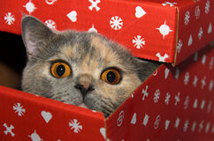 British cat in a red gift box Royalty Free Stock Image
