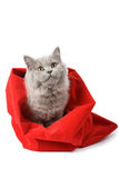 British cat in red sack isolated. On white Royalty Free Stock Photos