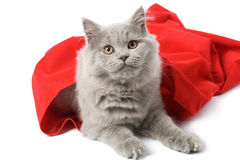 British cat in red sack isolated Stock Photo