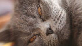 British cat's nose stock footage