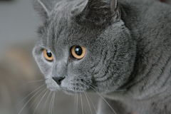 British cat. The British Shorthair blue cat Royalty Free Stock Photos