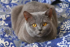 British cat. British Shorthair Cat lies on the sofa Stock Photography