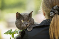 British cat on shoulder Stock Photography