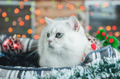British cat silver color Royalty Free Stock Photography