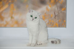 British cat silver color Royalty Free Stock Image