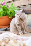 British cat sitting on a balcony Stock Photos