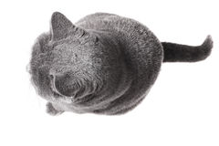 British cat sitting isolated Stock Images
