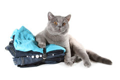 British cat sitting on Set of clothes Stock Image