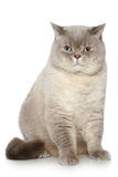 British cat sitting on a white background Stock Photo