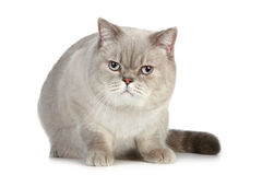 British cat sitting on a white background Royalty Free Stock Photos
