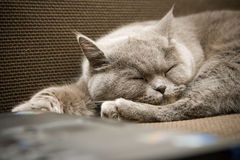 British Cat Sleeping Royalty Free Stock Photography