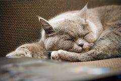 British Cat Sleeping Royalty Free Stock Photography