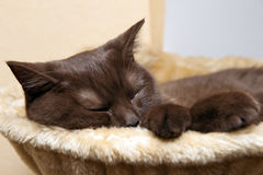 British Cat Sleeps Stock Photos