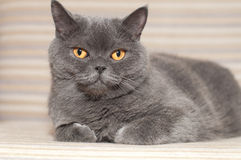 British cat on sofa Stock Images