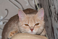 British cat. On the sofa Stock Photos