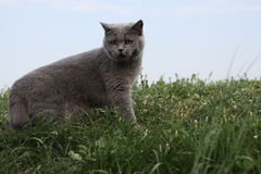British cat standing in grass on left Royalty Free Stock Photos