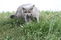 British cat standing in grass look forward Stock Photo