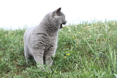 British cat standing in grass look right Stock Photos