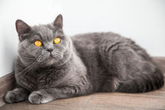 British cat staring Stock Images