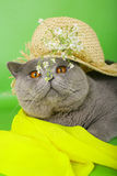 British cat in a straw hat Stock Images
