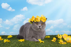 British cat on a summer lawn Stock Photo