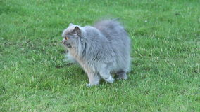 British cat is walking on the grass on a summer residence stock video