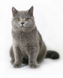 British cat on white Royalty Free Stock Photos