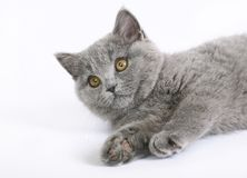 British cat on white Stock Image
