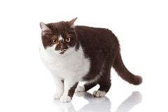 british cat on white Stock Photo