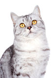 British cat on white background Royalty Free Stock Photography
