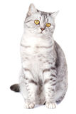 British cat on white background Stock Photography