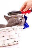 British cat on white background Royalty Free Stock Images