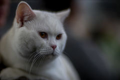British cat. White - portrait - Pedigree Cat Royalty Free Stock Photo