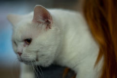 British cat - white. Portrait - Pedigree Cat Royalty Free Stock Photography