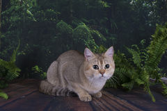 British cat in the wild forest Stock Photo