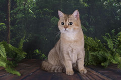 British cat in the wild forest Royalty Free Stock Photo