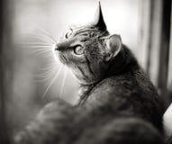 British cat on a window cute Royalty Free Stock Photo