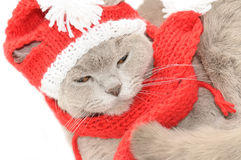 British cat  in a winter clothes Royalty Free Stock Image