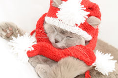 British cat  in a winter clothes Royalty Free Stock Images
