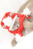British cat  in a winter clothes Stock Photo
