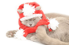 British cat  in a winter clothes Stock Images