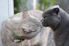 British cats kiss close-up royalty free stock image