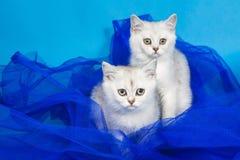 British cats Stock Image