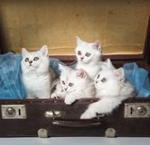 British cats in suitcase Royalty Free Stock Images