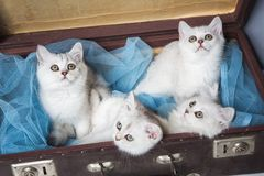 British cats in suitcase Stock Photo