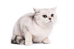 British chinchilla Cat Stock Photography