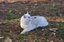 British chinchilla cat sitting on the grass Stock Images