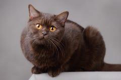 British Chocolate. Chocolate British shorthair cat at grey background Stock Photography
